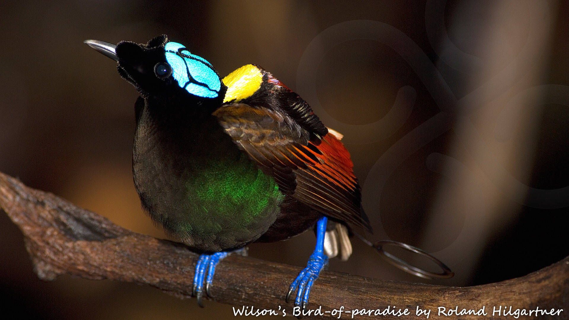 Perhaps every self-respecting world birder should at least once in a lifetime undertake the pilgrimage to the Wilson's Bird-of-paradise Diphyllodes respublica of Waigeo and Batanta in the fabled Raja Ampat or West Papuan Islands in eastern Indonesia. Copyright © Roland Hilgartner