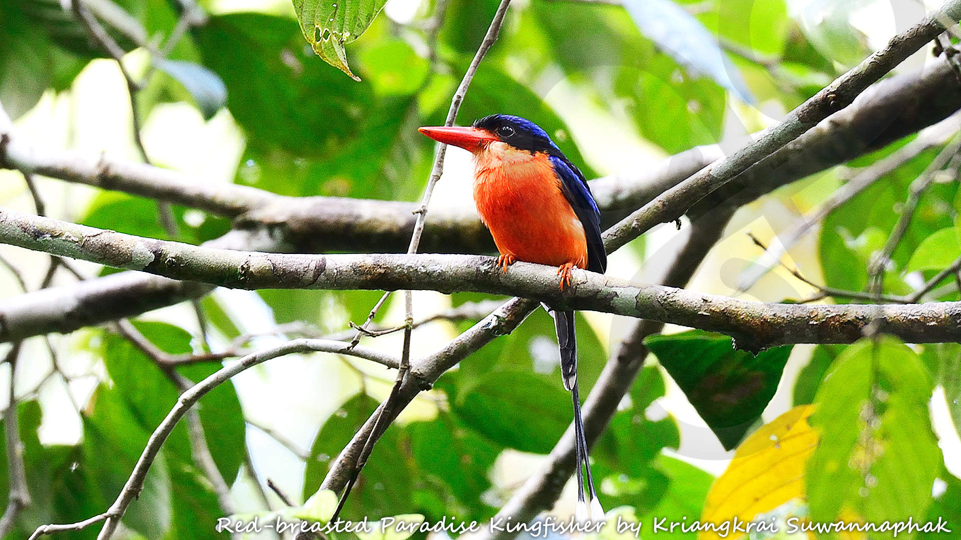 The restricted-range Red-breasted Paradise Kingfisher Tanysiptera nympha is mysteriously absent from many seemingly suitable forested localities within the Bird's Head or Vogelkop lowlands, and could be the highlight of a birding excursion around Sorong. Copyright © Kriangkrai Suwannaphak